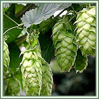 Hops, Common Hop