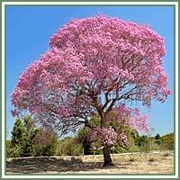 Pink Lapacho
