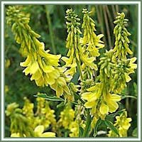 Yellow Sweetclover